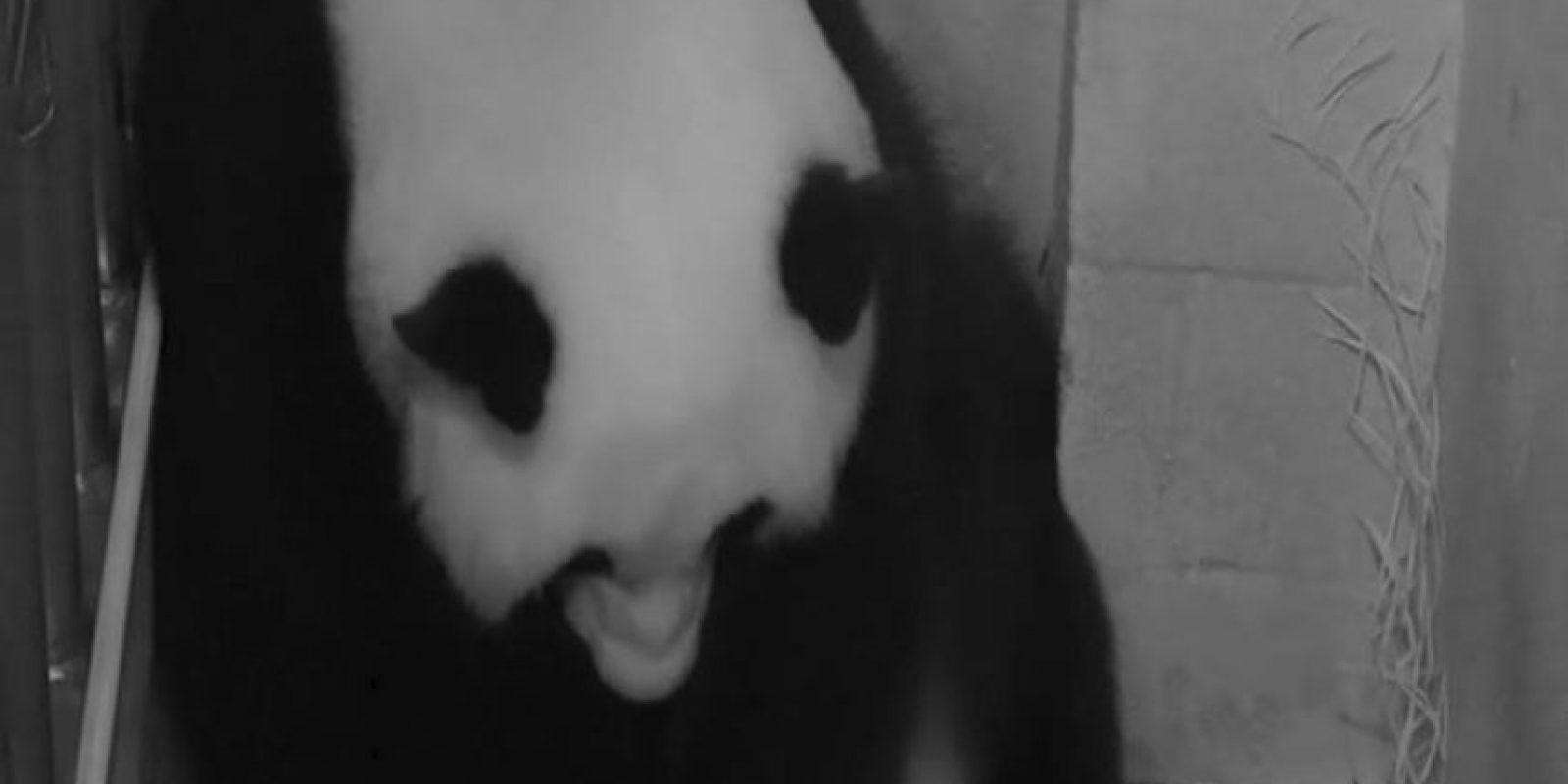 La madre panda se llama Mei Xiang. Foto:AFP