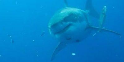 Esta tiburón blanco mide 6.1 metros de largo y podría tener 50 años de edad. Podría estar embarazada, lo que explicaría su asombroso tamaño. Foto:Vía Facebook.com/amaukua
