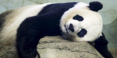 La madre panda se llama Mei Xiang. Foto:AP