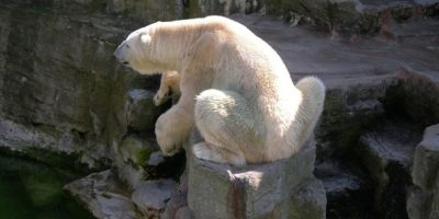 A medida que estas especies tienen que moverse para encontrar su propio alimento, los osos polares tienen menos para vivir. Foto:Wikimedia