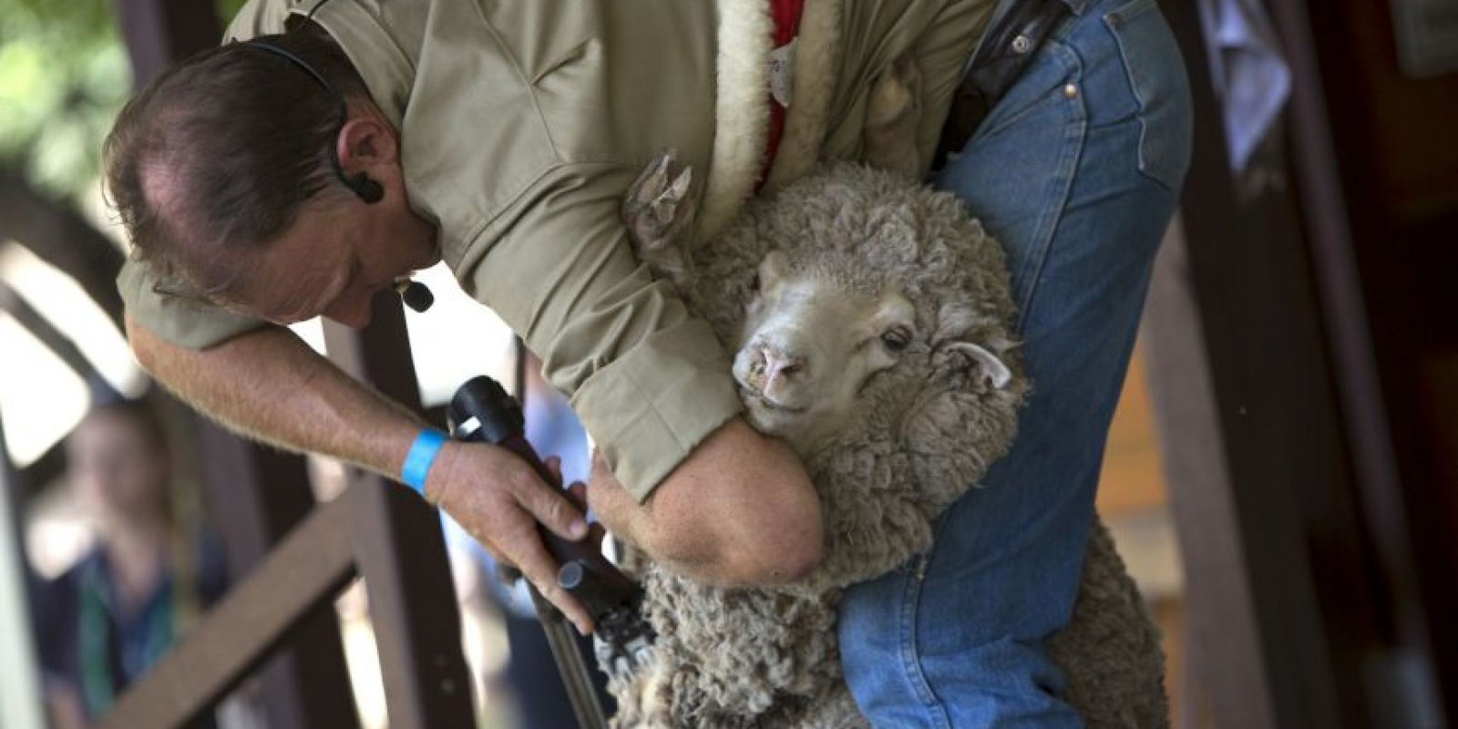 Si a las ovejas no se les quita la lana pueden contraer distintas enfermedades en la piel. Foto:Getty Images