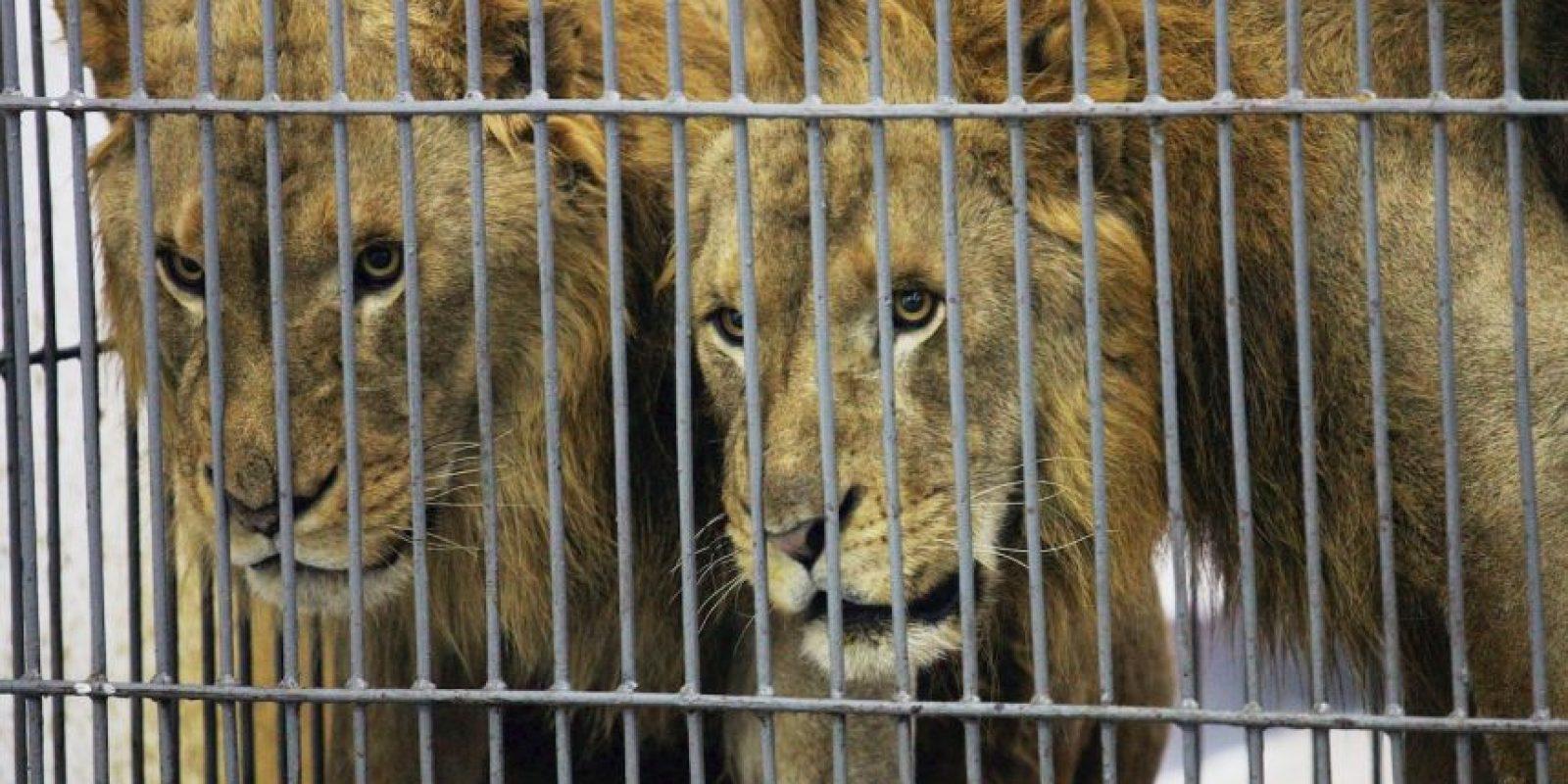 Ahora los felinos viajarán a Sudáfrica en octubre. Foto:Getty Images