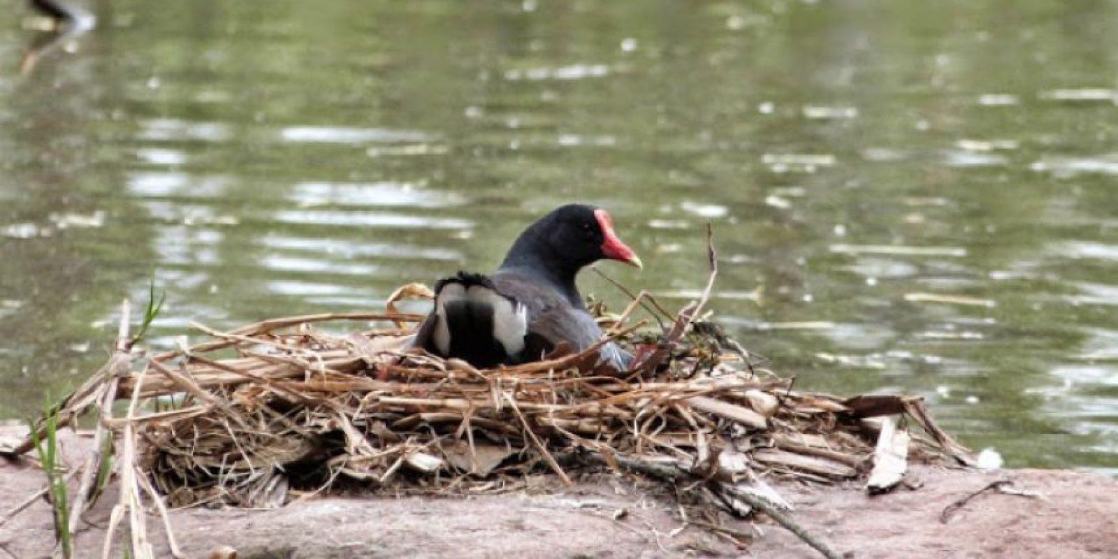 Tingua o Gallareta Moteada, una de las 30 especies que tiene como hogar las riberas del río Bogotá.