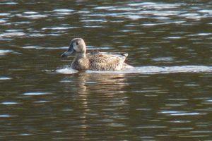 El el Pato Canadiense o Cerceta Aliazul es otra de las especies que tiene en el río Bogotá su hogar.