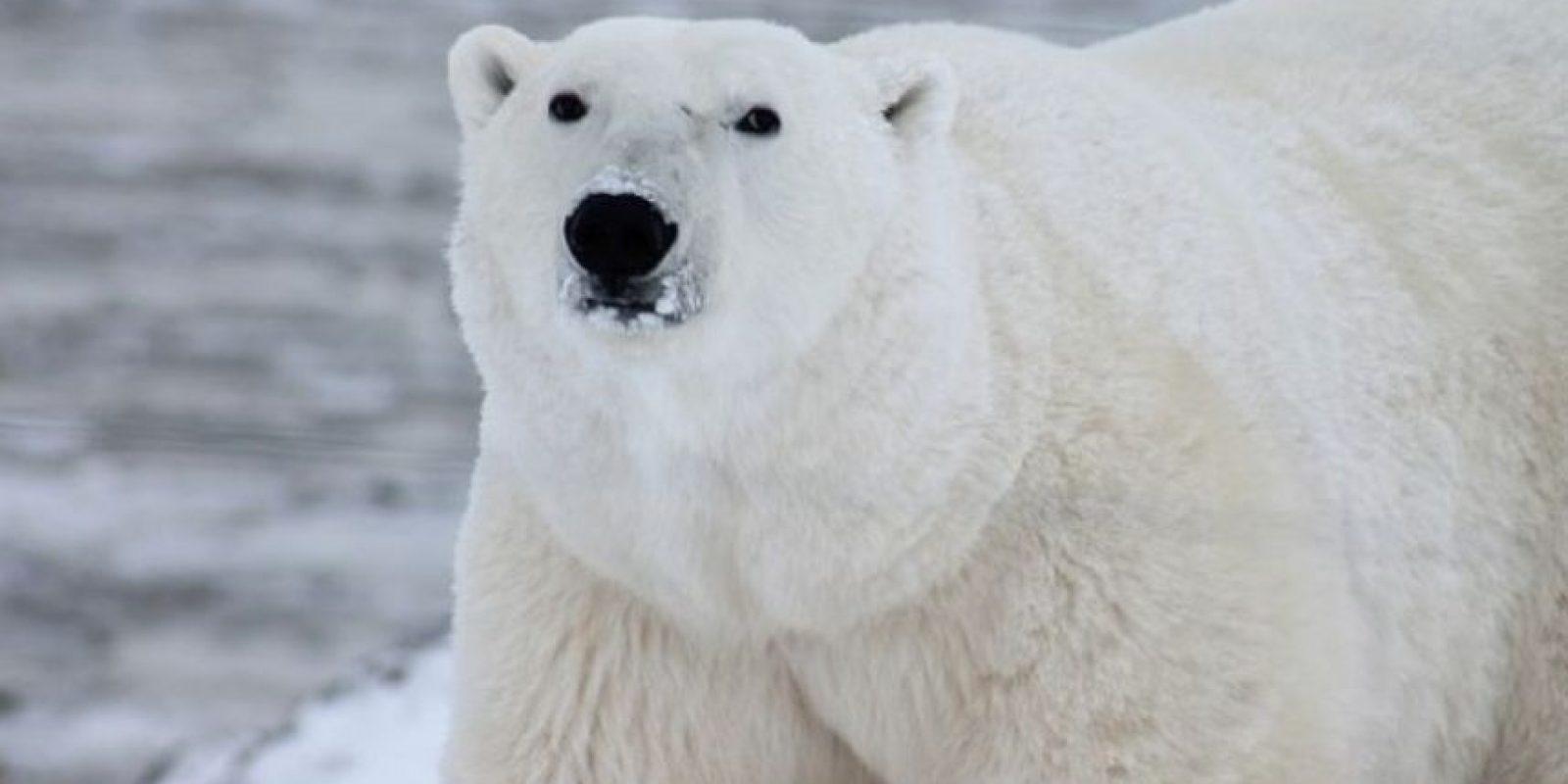 Como este hielo comienza a derretirse, su hábitat natural está siendo destruido y no hay forma de recuperarlo. Las únicas excepciones son los que están en cautiverio en zoológicos, donde las temperaturas son más cálidas. Foto:Wikimedia
