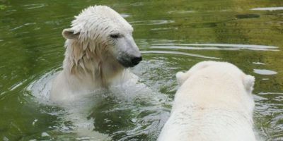 Mientras residen en estos sitios, no se encuentran en la naturaleza tratando de valerse por sí mismos. Foto:Wikimedia
