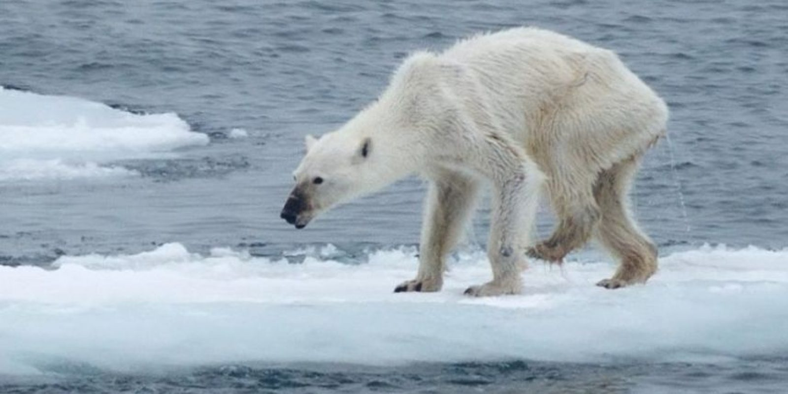 A medida que estas especies tienen que moverse para encontrar su propio alimento, los osos polares tienen menos para vivir. Foto:Vía Facebook/kerstin.langenberger.photography