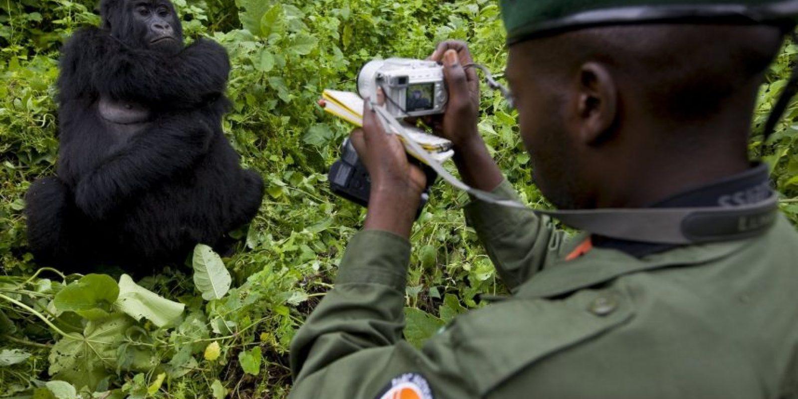 Sin embargo, así como los gorilas más de 140 guardabosques de Virguna han sido asesinados por protege el parque. Foto:Getty Images
