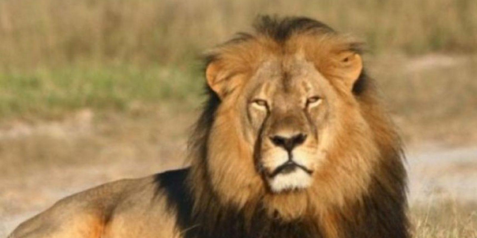 Muchos se indignaron por la caza de este león. Foto:vía AFP