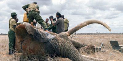 El animal fue tratado por el grupo conservacionista Wildlife Trust. Foto:vía Barcroft Media