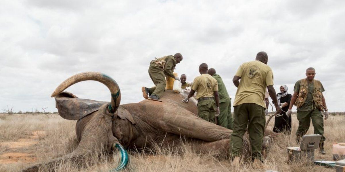 Fotos: Así salvan a un elefante agonizante de la flecha mortífera de un cazador