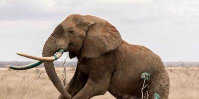 EL pobre elefante fue herido con una flecha envenenada. Foto:vía Barcroft Media
