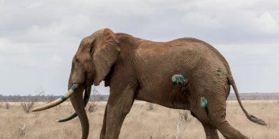 Ahora el elefante se encuentra mejor. Foto:vía Barcroft Media
