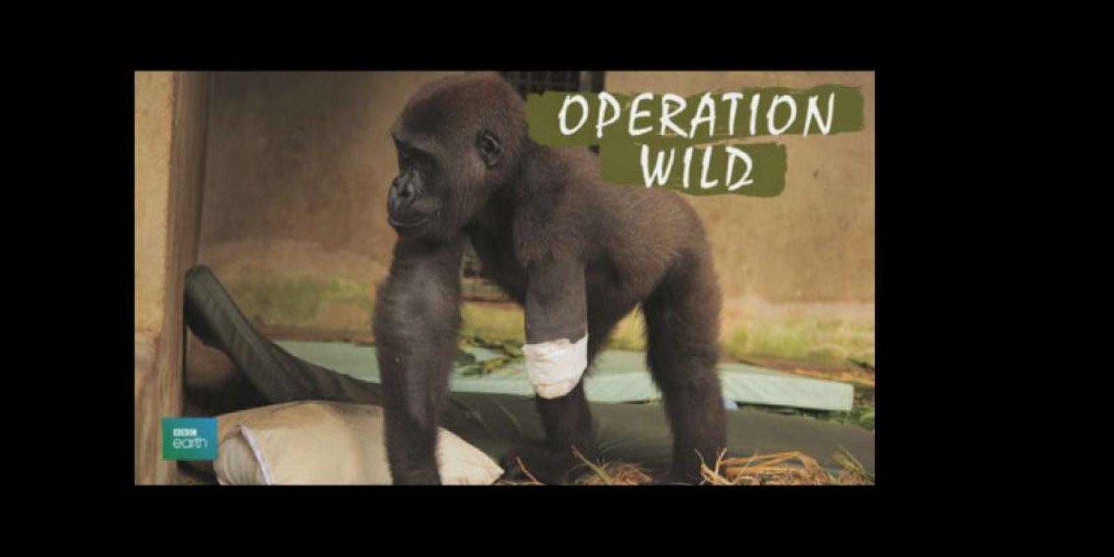 Sigan los pasos de veterinarios alrededor del mundo que se dedican a innovar en procedimientos y operaciones con el fin de salvar la vida de los animales Foto:BBC Earth