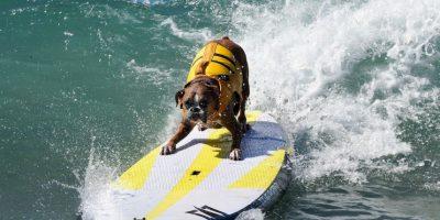 Perro participante del séptimo concurso anual surf de perros en California, Estados Unidos. Foto:AFP