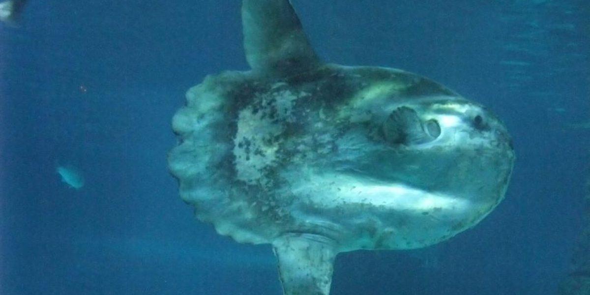 Descubren al pez luna más gigante del mundo