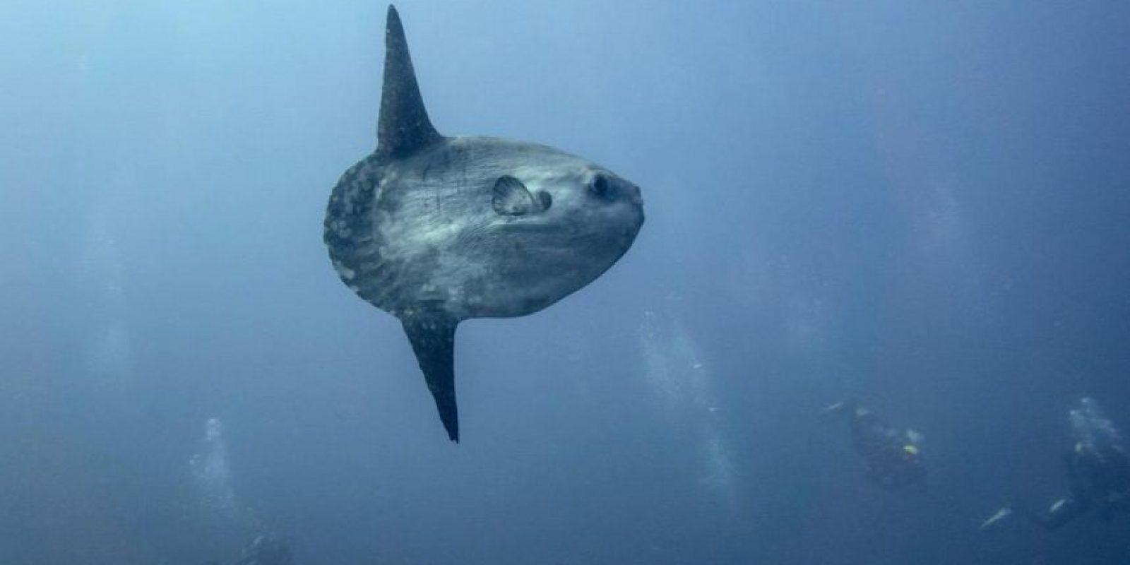 Es el pez óseo más pesado del mundo, con una media de mil kilográmos Foto:Wikicommons