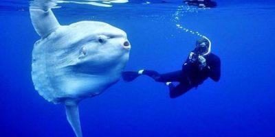 Existen ejemplares que alcanzan más de tres metros de longitud y superan las dos toneladas Foto:Wikicommons