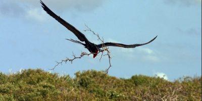 Fragata de la isla Christmas. El ave sólo se encuentra en el territorio australiano. Foto:Vía Wikimedia Commons