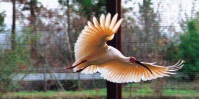 Ibis Crestado de Asia. Su población se ha reducido cerca de 250 en la provincia china de Shaanxi. Foto:Vía japan.org