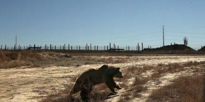 Osos foráneos hacen regularmente incursiones en pueblos y ciudades de Rusia. Foto:Getty Images