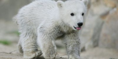 Es una de las especies en peligro de extinción del planeta Foto:Getty Images