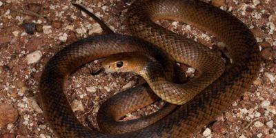 """Según destaca el Dr. Bryan Fry de la Universidad de Queensland, Australia, """"este tipo de serpiente ha llegado a superar los 1,3 gramos de veneno extraídos en un solo esputo"""". Foto:Pinterest"""