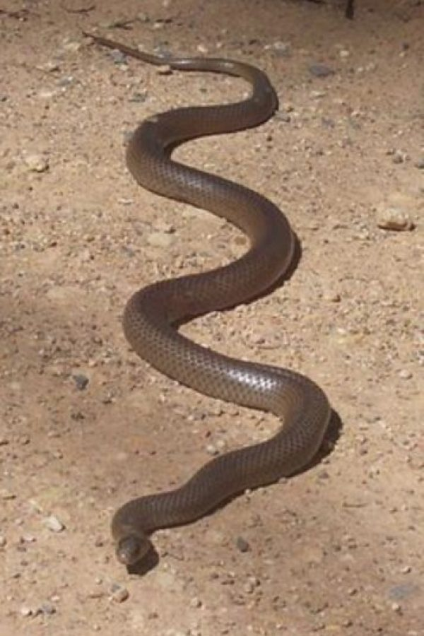 Es catalogado como uno de los animales más venenosos del mundo, pues con su veneno podría matar a 100 personas adultas y 250 mil ratones. Foto:Wikimedia