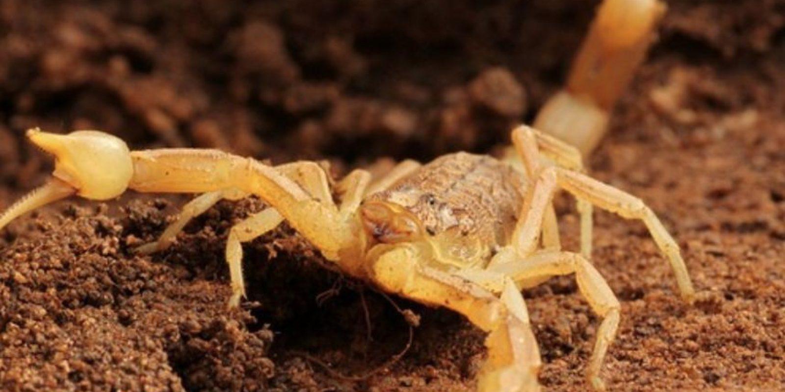 6. Escorpión palestino amarillo. Puede medir hasta 10 centímetros de longitud. Foto:Wikimedia