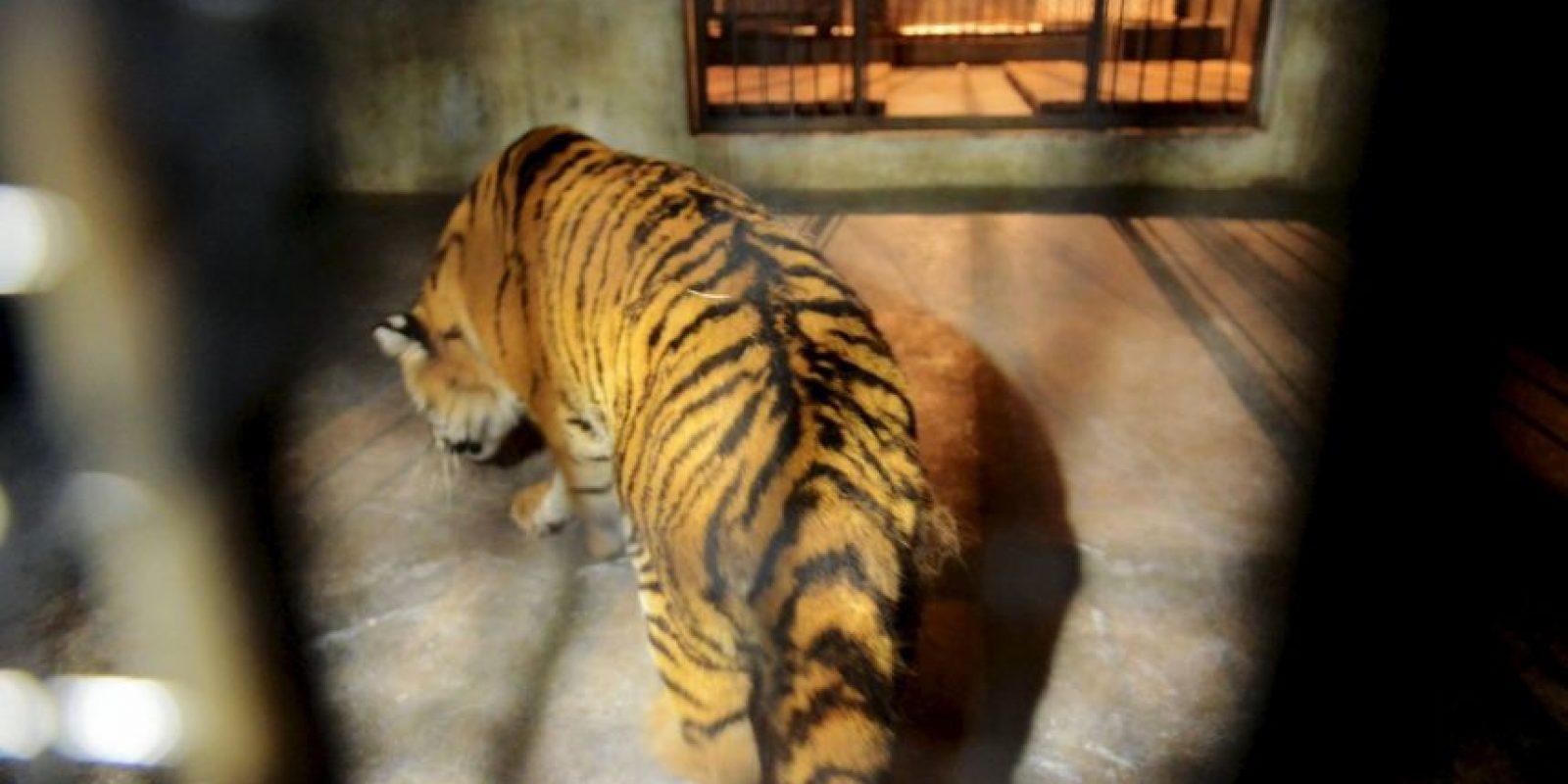 El zoológico Henry Doorly de Omaha cree que el tigre relacionado es un felino de 18 años. Foto:Getty Images
