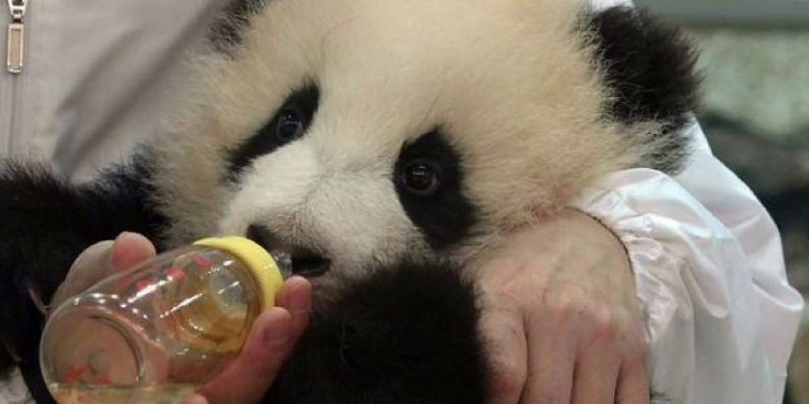 Les dan de comer –literalmente– en el hocico. Foto:Vía Facebook/iPanda