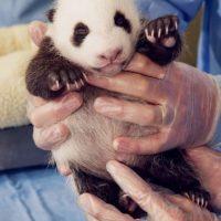 Sin duda no hay nada más tierno y divertido que ser cuidadores de pandas. Foto:Vía Facebook/iPanda
