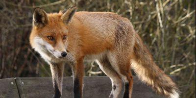 Tras el ataque de un zorro experto. Foto:Vía Wikipedia Commons
