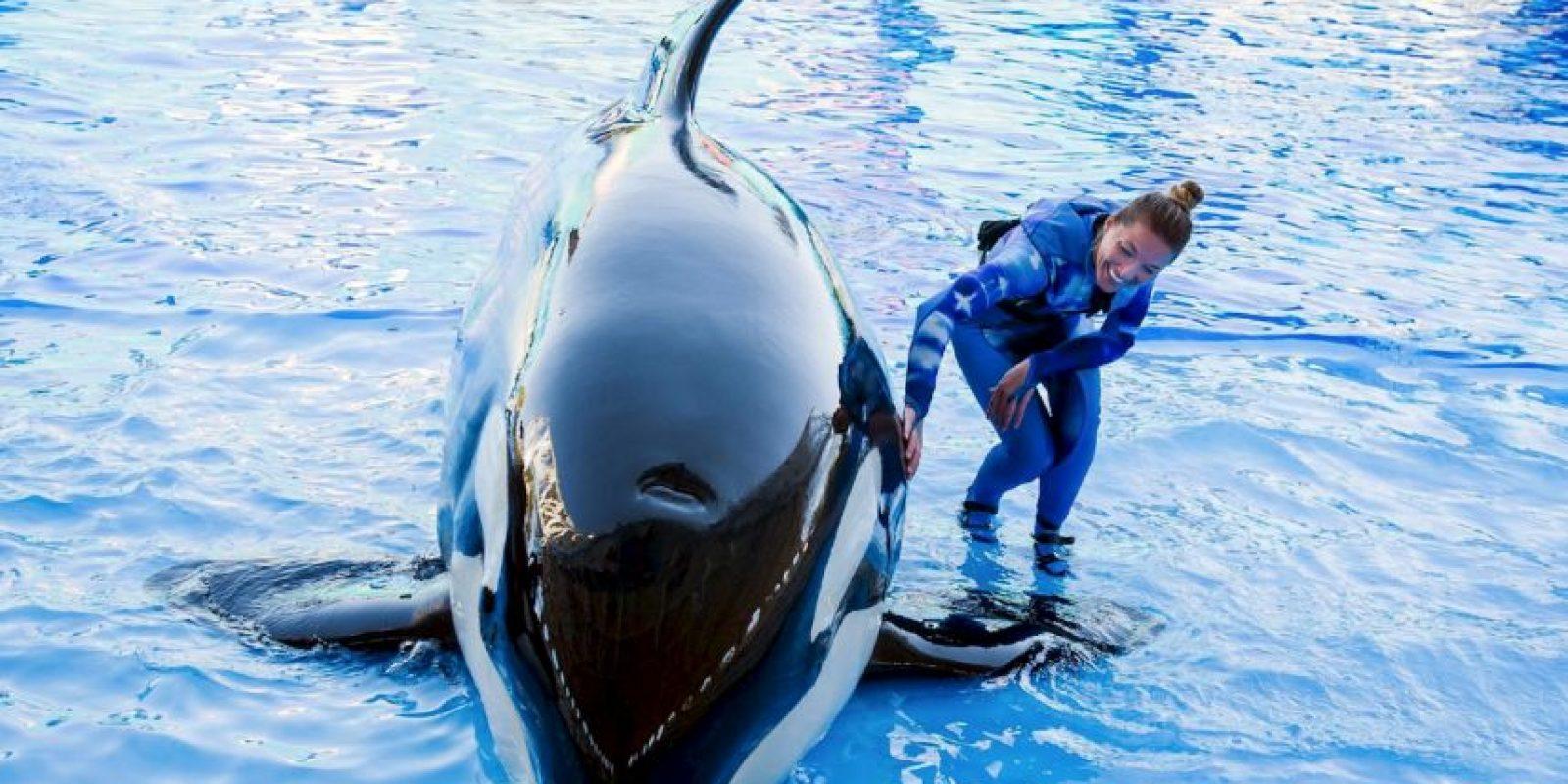 El mayor número de ataques de la especie se ha registrado cuando se encuentran en cautiverio. Foto:Vía facebook.com/SeaWorld