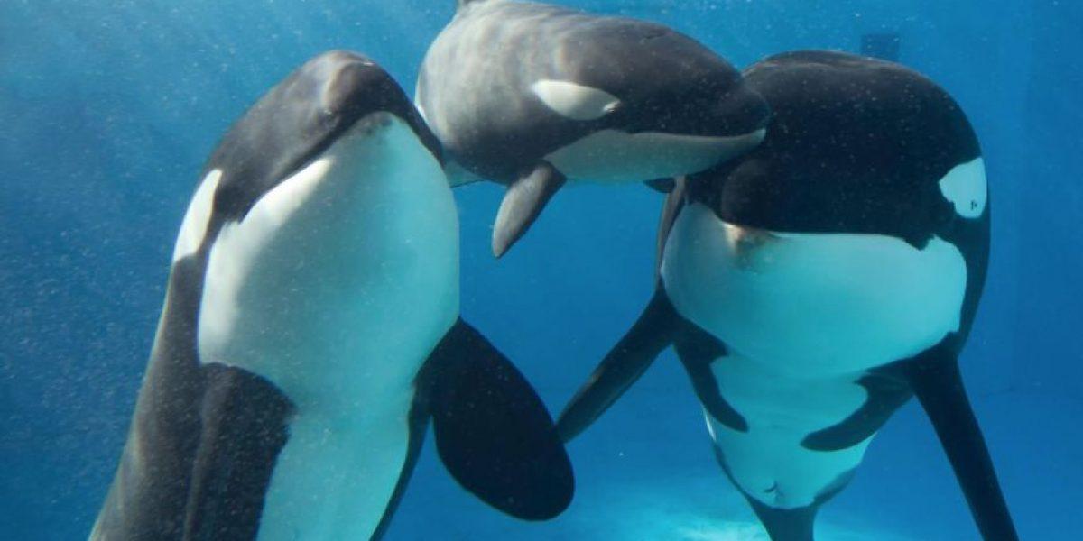 Famoso parque acuático pone fin a los espectáculos con orcas