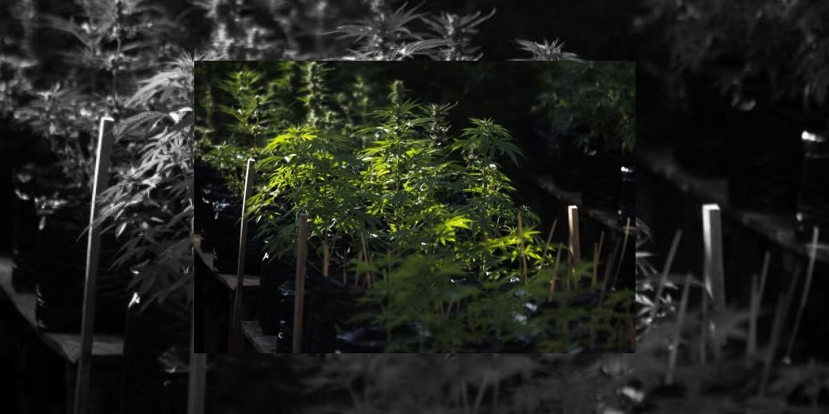 En Bogotá hay una granja de marihuana legal