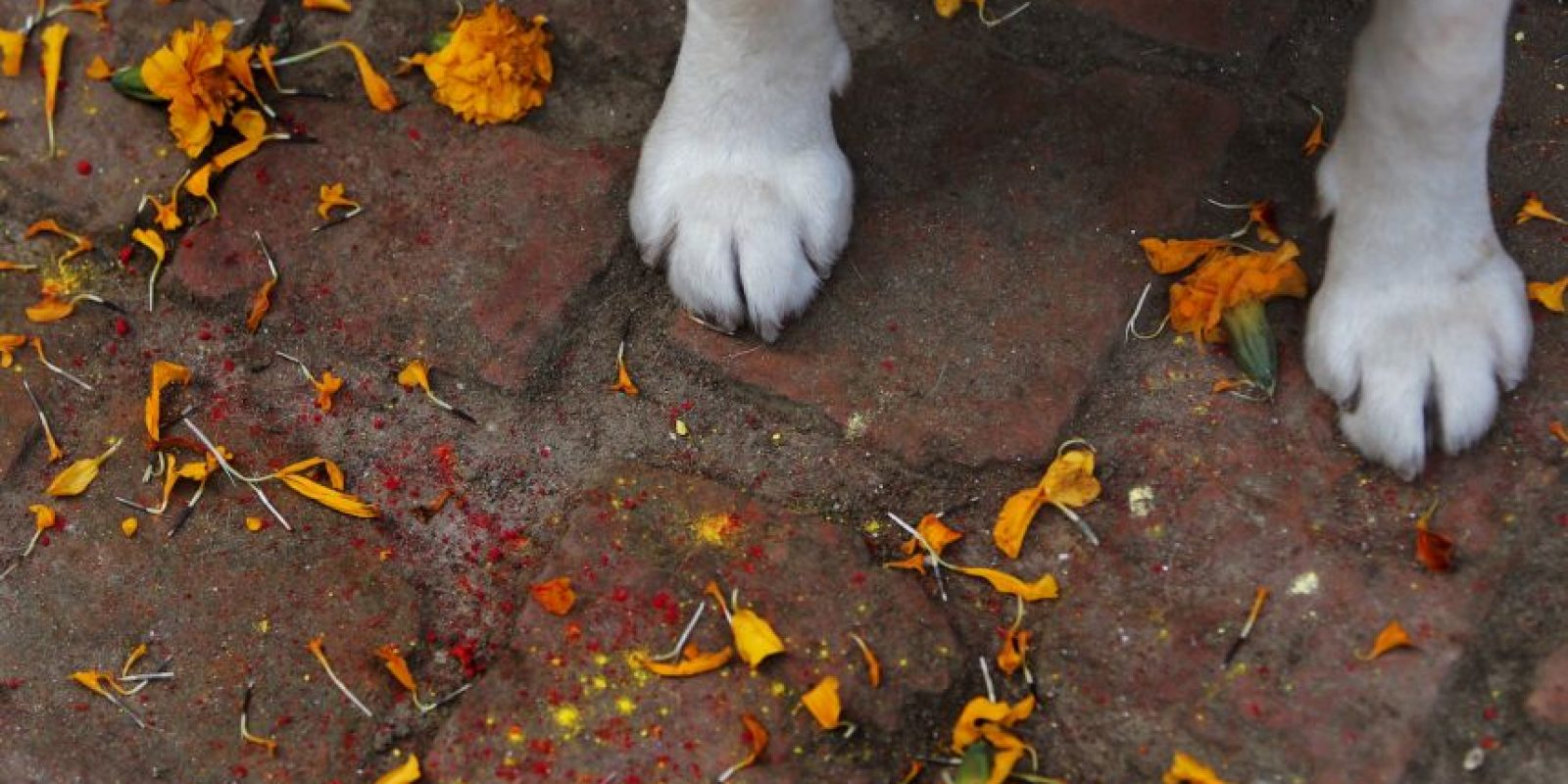 Como cuervos, vacas y perros Foto:AP