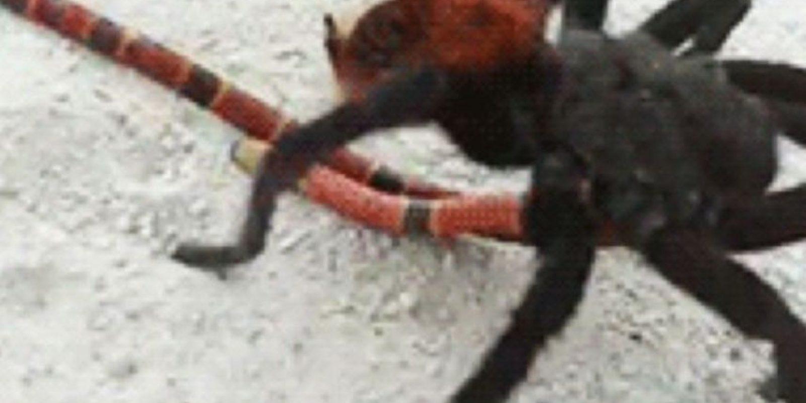 Pero hay arañas más mortíferas. Foto:vía Tumblr
