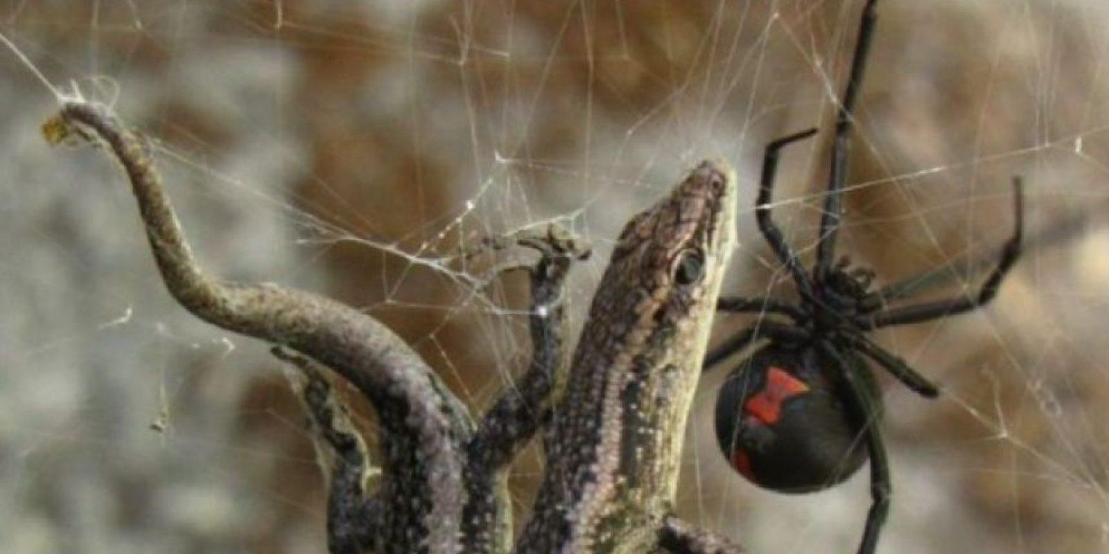 Araña espalda roja: vive en climas tropicales, aunque su lugar de origen es Australia. Suele aparecer en letrinas y es confundida con la Viuda Negra. Su veneno puede matar por asfixia y también produce tensión muscular. Foto:vía Wikipedia