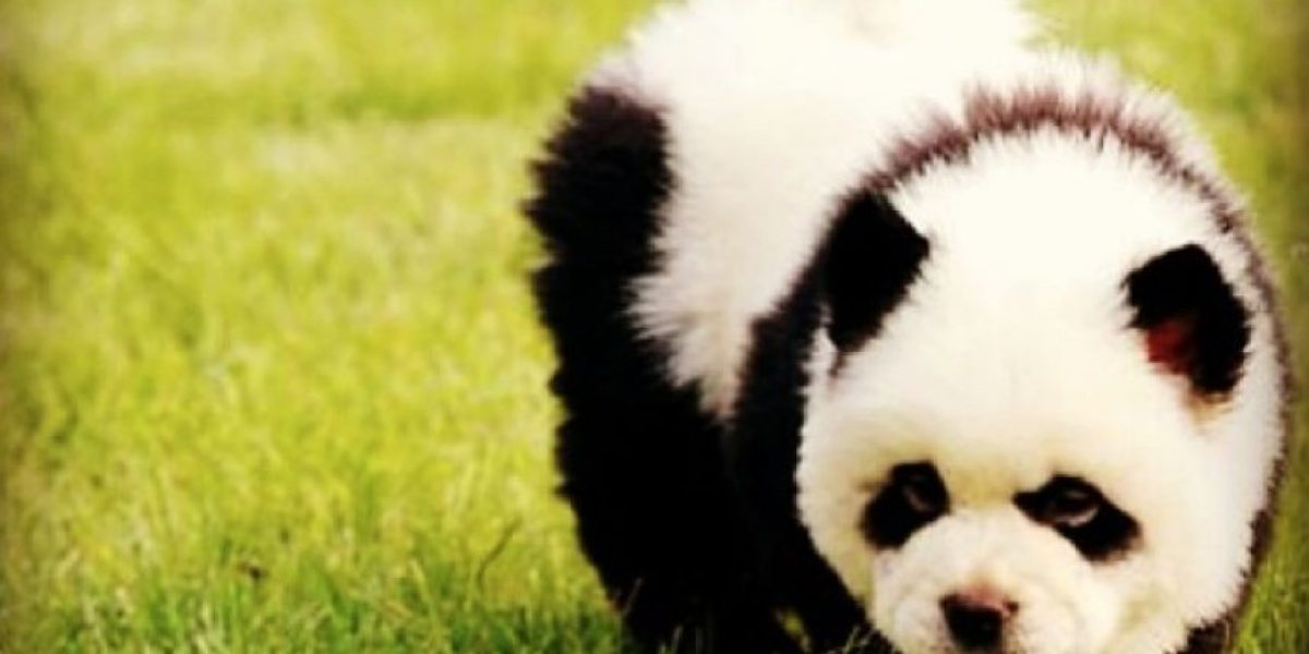 Video: Lo crean o no, este animal realmente no es un panda