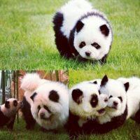 Foto:Vía Instagram/#PandaChowchowPandaChowchow
