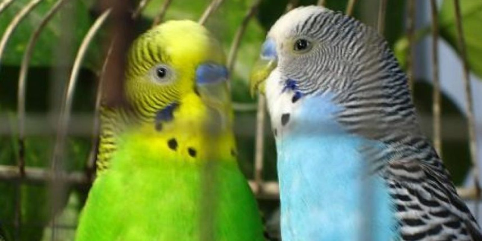 """Son aves muy inteligentes. Entre las especies, cada una de ellas tiene su propio conjunto de llamadas y encontrará algunas que son muy buenas para imitar los sonidos que escuchan, repetir palabras, frases e incluso silbar, compartió el sitio especializado """"Las-Aves.com"""" Foto:Flickr"""