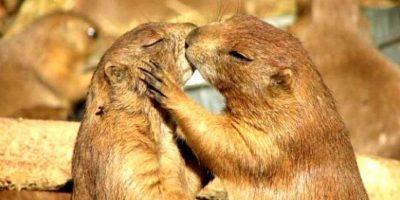 Aunque estrechamente emparentadas con las ardillas, las marmotas las superan ampliamente en tamaño y son de hábitos terrestres. Foto:worldraider