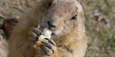 Almacenan comida e hibernan en sus madrigueras durante el invierno alrededor de 7 meses. Foto:Pixabay