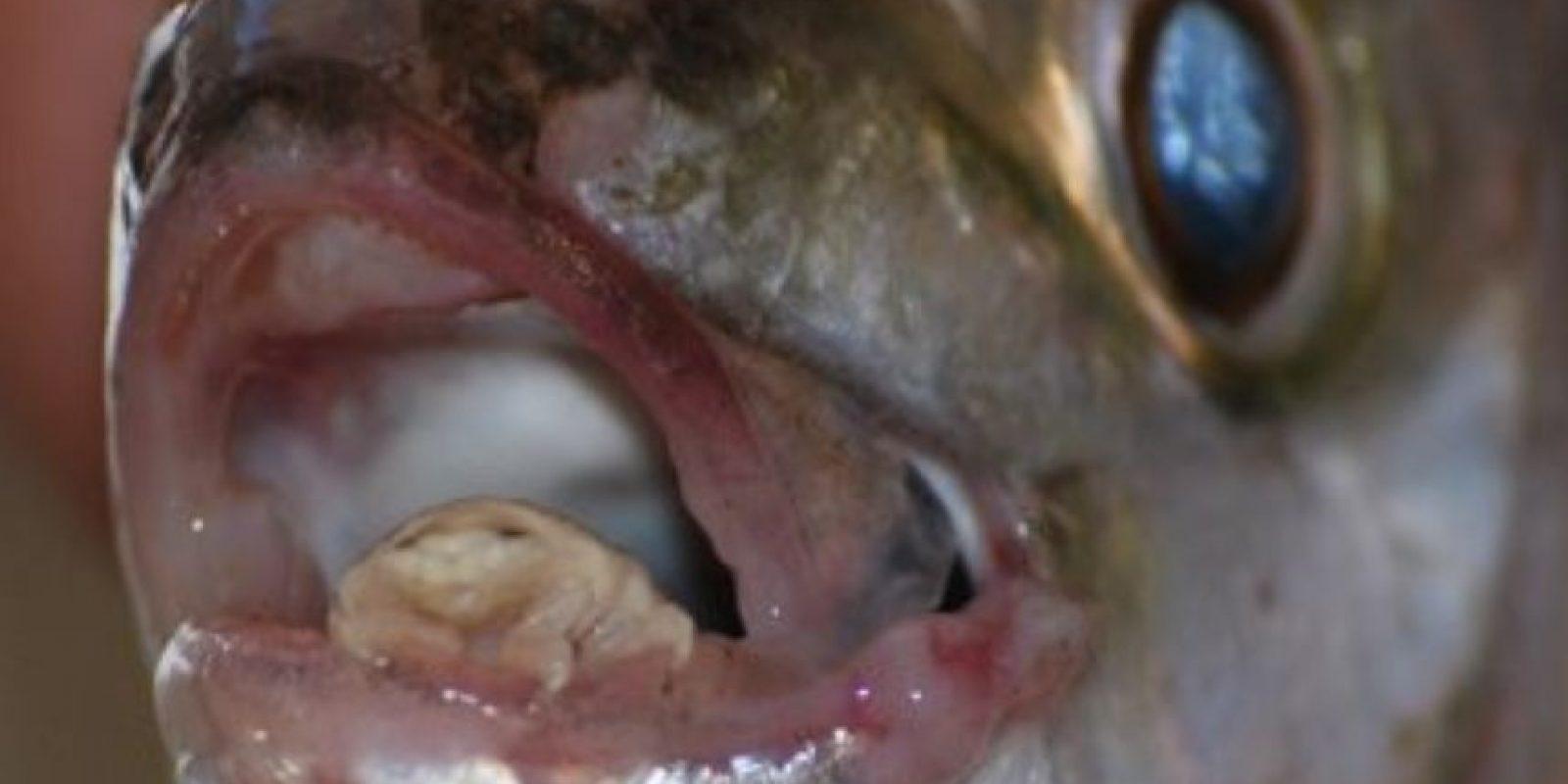 Es un parásito que vive en las lenguas de los peces. Bebe la sangre de esta parte de su cuerpo y la desintegra. Foto:vía RealMounstrosities