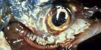 4. Cymothoa Exigua. Foto:vía RealMounstrosities