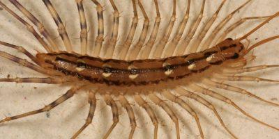 5. Centípodo casero. Vive en toda la región del Pacífico. Foto:vía RealMounstrosities