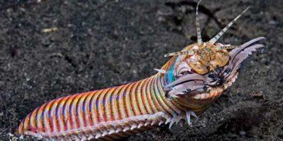 6. Gusano Bobbit: vive en el fondo del océano, enterrado en la arena. Foto:vía RealMounstrosities