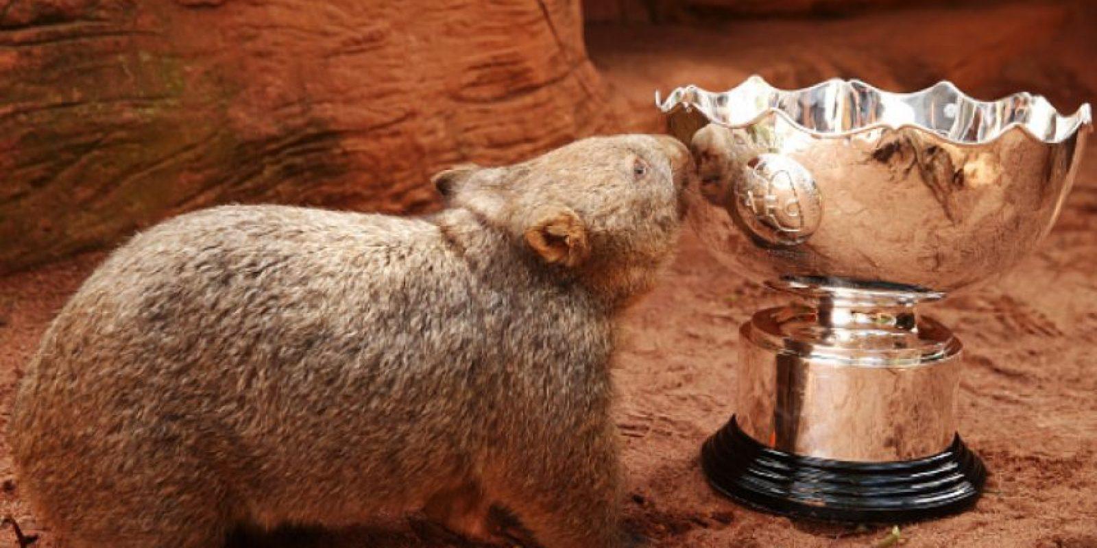 Son familia de los marsupiales y llaman la atención por su simpático aspecto. Foto:Getty Images