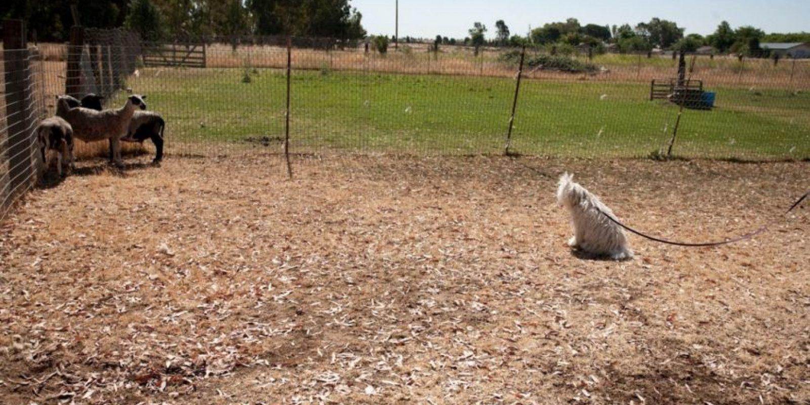 También ha estado haciendo labores de ovejero. Foto:facebook.com/beast.the.dog